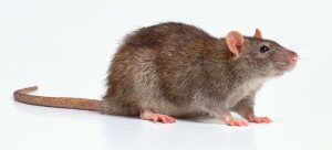 Rattus norvegicus - Topo di Fogna o Pantegana