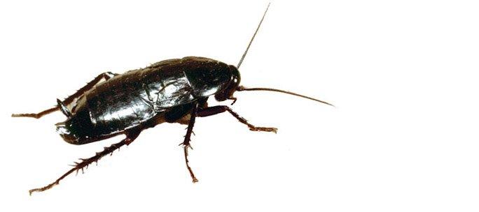 Blatta orientalis scarafaggio cordella disinfestazioni for I piani di casa
