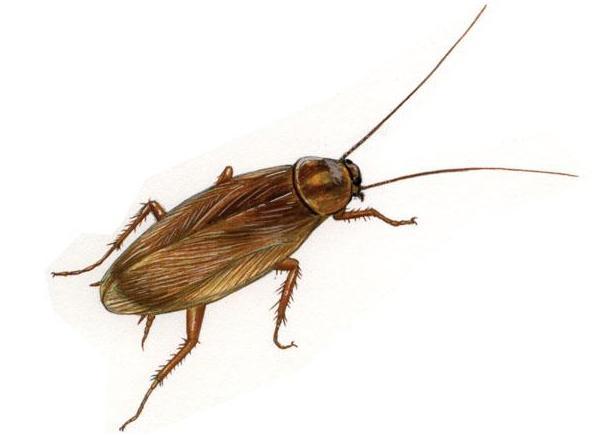 Blattella germanica cordella disinfestazioni - Piccoli insetti sui muri di casa ...