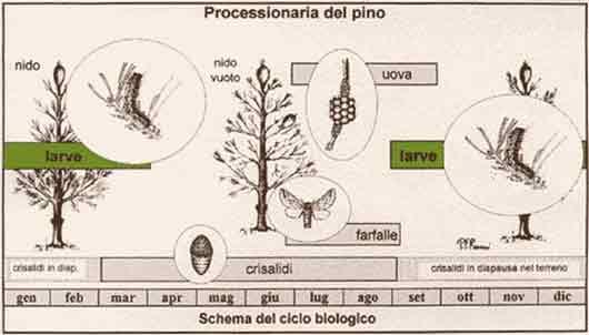 Ciclo Biologico Processionaria del Pino